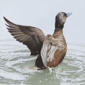New Zealand blue-billed duck. New Zealand stiff-tailed duck (Oxyura vantetsi). Image 2006-0010-1/30 from the series 'Extinct birds of New Zealand'. Masterton. Image © Purchased 2006. © Te Papa by Paul Martinson See Te Papa website: