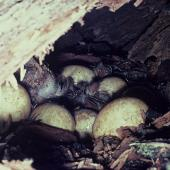 Paradise shelduck. Eggs. Huiarua Station, Tolaga Bay, October 1974. Image © Department of Conservation ( image ref: 10044653 ) by Murray Williams, Department of Conservation  Courtesy of Department of Conservation