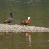 Paradise shelduck. Adult male following adult female. Nelson Lakes National Park, July 2007. Image © Peter Reese by Peter Reese