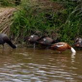 Paradise shelduck. Pair with four juveniles (behind). Canterbury, December 2008. Image © Peter Reese by Peter Reese