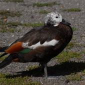 Paradise shelduck. Juvenile female moulting. Lake Taupo, January 2009. Image © Peter Reese by Peter Reese