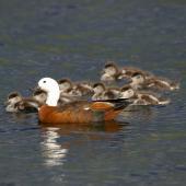 Paradise shelduck. Female with chicks. Lake Okareka. Image © Noel Knight by Noel Knight