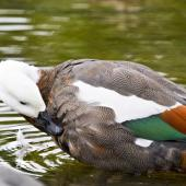 Paradise shelduck. Female preening. Auckland, March 2012. Image © Raewyn Adams by Raewyn Adams