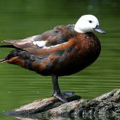 Paradise shelduck. Adult female showing feather details. Wanganui, December 2008. Image © Ormond Torr by Ormond Torr