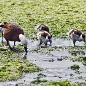 Paradise shelduck. Female with her brood.. Otago Peninsula, December 2010. Image © Raewyn Adams by Raewyn Adams
