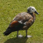 Paradise shelduck. Juvenile female. Nga Manu Bird Sanctuary, Waikanae, January 2011. Image © Alan Tennyson by Alan Tennyson