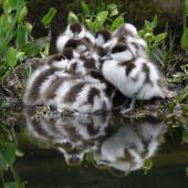 Paradise shelduck. Ducklings. Auckland, October 2009. Image © Steffi Ismar by Steffi Ismar Courtesy of S. Ismar.