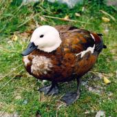 Paradise shelduck. Adult female showing unusual plumage. Mount Cook National Park, October 2004. Image © James Mortimer by James Mortimer