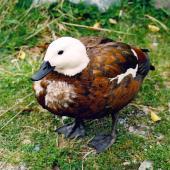Paradise shelduck. Adult female showing unusual plumage. Mount Cook National Park, October 2004. Image © James Mortimer by James Mortimer