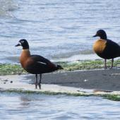 Chestnut-breasted shelduck. Pair, with female on left. Avon-Heathcote estuary, November 2015. Image © Andrew Crossland by Andrew Crossland