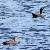 Chestnut-breasted shelduck. Adult female (at rear) with grey duck. Mangere sewage ponds, December 2014. Image © Oscar Thomas by Oscar Thomas https://www.flickr.com/photos/kokakola11