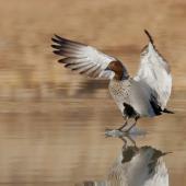 Australian wood duck. Adult male landing on water. Kambah, Australian Capital Territory, July 2017. Image © Glenn Pure 2017 birdlifephotography.org.au by Glenn Pure
