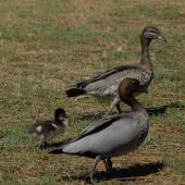 Australian wood duck. Pair with duckling (male in foreground). New South Wales,  Australia, November 2009. Image © Peter Reese by Peter Reese