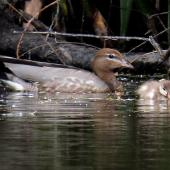 Australian wood duck. Adult female with duckling. Playhouse Ponds, November 2019. Image © Scott Brooks (ourspot) by Scott Brooks