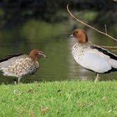 Australian wood duck. Pair of adults on grass. Playhouse Ponds, Nelson, September 2018. Image © Duncan Watson by Duncan Watson