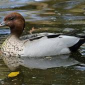 Australian wood duck. Adult male on water. Sydney,  New South Wales,  Australia, October 2015. Image © Duncan Watson by Duncan Watson