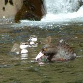 Blue duck. Adult and ducklings . Mangatepopo, Tongariro National Park, November 2005. Image © Department of Conservation ( image ref: 10070831 ) by Tyronne Smith Department of Conservation  Courtesy of Department of Conservation