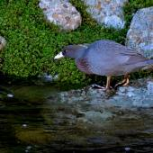 Blue duck. Adult. Hydro Canal, Arahura River, Hokitika, West Coast, April 2015. Image © Shellie Evans by Shellie Evans www.tikitouringnz.blogspot.co.nz
