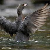 Blue duck. Adult. South Westland, November 2007. Image © Craig McKenzie by Craig McKenzie