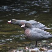 Blue duck. Breeding pair with young nearby. Worsley valley, Lake Te Anau, February 2010. Image © Paul Peychers by Paul Peychers - Wildlife Images