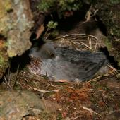 Blue duck. Adult female on nest. Fyfe River. Image © Kate Steffens by Kate Steffens