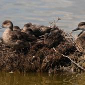 Grey teal. Adults resting with young. Westshore Lagoon, Napier, November 2013. Image © Adam Clarke by Adam Clarke