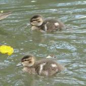 Grey teal. Downy chicks. Hamilton Zoo, October 2011. Image © Alan Tennyson by Alan Tennyson