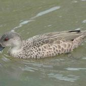 Grey teal. Adult on water. Hamilton Zoo, October 2011. Image © Alan Tennyson by Alan Tennyson