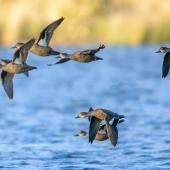 Grey teal. Flock in flight showing ventral and dorsal wing view. Lake Okareka, June 2012. Image © Tony Whitehead by Tony Whitehead www.wildlight.co.nz