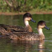 Grey teal. Adults. Wanganui, October 2010. Image © Ormond Torr by Ormond Torr