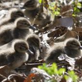 Grey teal. Downy ducklings (captive birds). Hamilton Zoo, August 2013. Image © Raewyn Adams by Raewyn Adams