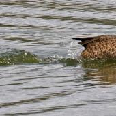 Grey teal. Adults displaying on water. Nelson sewage ponds, February 2015. Image © Rebecca Bowater by Rebecca Bowater FPSNZ AFIAP www.floraandfauna.co.nz