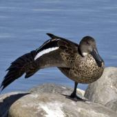 Grey teal. Adult stretching its wing. Nelson sewage ponds, April 2015. Image © Rebecca Bowater by Rebecca Bowater FPSNZ AFIAP www.floraandfauna.co.nz