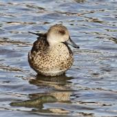 Grey teal. Front view of adult. Te Awanga, May 2012. Image © Dick Porter by Dick Porter