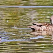 Grey teal. Adult and duckling. Te Awanga, October 2011. Image © Dick Porter by Dick Porter