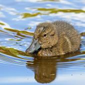 Brown teal. Duckling. Great Barrier Island, March 2019. Image © Mark Lethlean by Mark Lethlean
