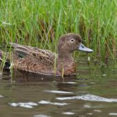 Brown teal. Adult female. Great Barrier Island, March 2019. Image © Mark Lethlean by Mark Lethlean