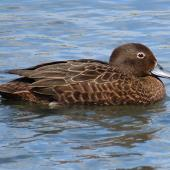 Brown teal. Adult female. Tikipunga, November 2019. Image © Scott Brooks (ourspot) by Scott Brooks
