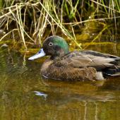 Brown teal. Male in breeding plumage. Orongo Bay, Russell, September 2014. Image © Les Feasey by Les Feasey