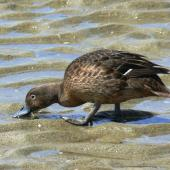 Brown teal. Feeding at low tide. Great Barrier Island, February 2008. Image © Joke Baars by Joke Baars
