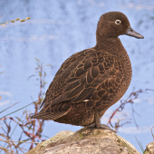 Brown teal. Gravid adult female. Orongo Bay, Russell, September 2014. Image © Les Feasey by Les Feasey