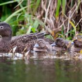 Brown teal. Adult with 5 ducklings. Man made pond at Ngunguru, October 2014. Image © Malcolm Pullman by Malcolm Pullman www.pullmanphotography.co.nz