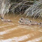 Brown teal. Non-breeding adults swimming in a line. Great Barrier Island. Image © Jenny Atkins by Jenny Atkins www.jennifer-m-pics.ifp3.com