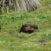 Auckland Island teal. Pair foraging. Enderby Island, Auckland Islands, November 2011. Image © Detlef Davies by Detlef Davies
