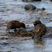 Auckland Island teal. Rear view of pair feeding in intertidal zone. Enderby Island, Auckland Islands, November 2011. Image © Sonja Ross by Sonja Ross