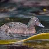 Auckland Island teal. Adult male swimming. Enderby Island, Auckland Islands, January 2016. Image © Tony Whitehead by Tony Whitehead www.wildlight.co.nz