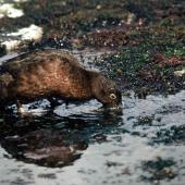 Auckland Island teal. Adult. Rose Island, Auckland Islands, December 1973. Image © Department of Conservation ( image ref: 10047016) by Rod Morris Department of Conservation  Courtesy of Department of Conservation