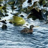 Auckland Island teal. Adult . Ewing Island, Auckland Islands, November 1989. Image © Department of Conservation ( image ref: 10034053) by Peter Moore Department of Conservation  Courtesy of Department of Conservation
