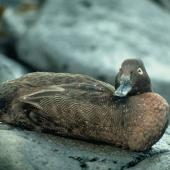 Auckland Island teal. Adult. Ewing Island, Auckland Islands. Image © Department of Conservation ( image ref: 10023938 ) by Pete McClelland Department of Conservation  Courtesy of Department of Conservation