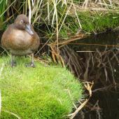 Auckland Island teal. Adult. Enderby Island, December 2011. Image © Department of Conservation  by Rob Wardle